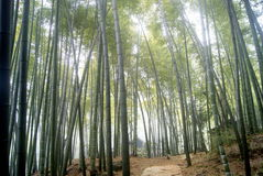 The bamboo tree Royalty Free Stock Images