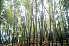 The bamboo tree Stock Photo