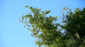 Bamboo tree top move with wind stock video footage