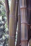 Bamboo tree Stock Image