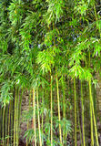 Bamboo tree. Tropical forest Royalty Free Stock Photo