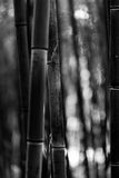 Bamboo tree trunk black and white Stock Image