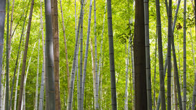 Bamboo tree trunks Royalty Free Stock Photo