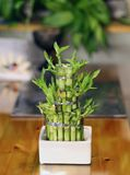 Bamboo Tree Used for Home Decoration. Small bamboo tree used as home decoration. Beautiful green plant with asian vibes. Lovely item for living room or even stock photography