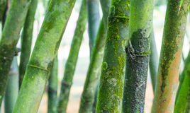 Bamboo Tree V Royalty Free Stock Image