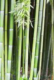 Bamboo tree wood background Royalty Free Stock Images