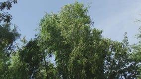 Bamboo, treer,   cambodia, southeast  asia stock footage