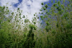 Bamboo Trees. An image taken in Italy. Bamboo Trees Stock Photos