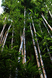 Bamboo trees. High grown green bamboo trees with long trunks in a Hawaiian forest Royalty Free Stock Photography