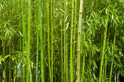 Bamboo trees. Background of green bamboo trees Royalty Free Stock Photo