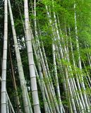 Bamboo Trees. Grove of bamboo trees Stock Photos