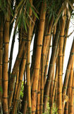 Bamboo trees Stock Photo