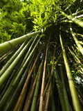 Bamboo trees. Ground view picture Stock Image