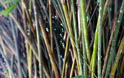 Bamboo trees background Stock Images