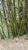 Bamboo trees. Big, tall, long, green bamboo trees growing off the road Royalty Free Stock Photography
