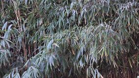 Bamboo trees. In the forest stock video footage
