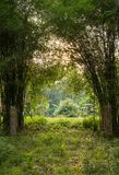 Bamboo trees at the garden stock photography