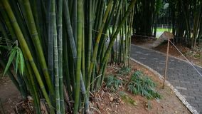 Bamboo trees in garden stock footage