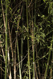 Bamboo trees. Green and brown bamboo trees Royalty Free Stock Image