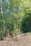 Bamboo trees Stock Image