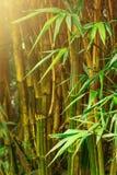 Bamboo trees Stock Image