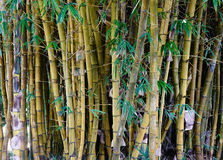 Bamboo trees in oriental garden. Bamboo trees at the botanic garden in Highlands, Mauritius. Close up Stock Image