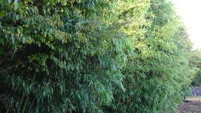 Bamboo trees at the park in Jeju, South Korea.  stock footage