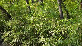 Bamboo trees. At the park in Namsan, Seoul, Korea stock footage