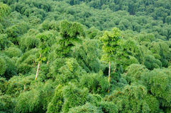 Bamboo Trees Royalty Free Stock Photography