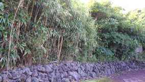 Bamboo trees with stone fench at Hallim Park in Jeju, Korea.  stock video