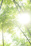 Bamboo trees and sunshine Stock Photo