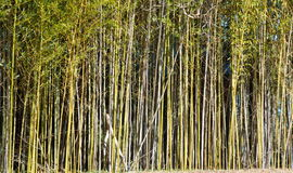 Bamboo trees Royalty Free Stock Photo