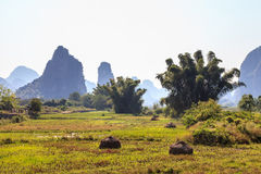 Bamboo trees in a valley with limestone rocks Royalty Free Stock Image