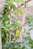 Bamboo Trellis Jasmine vine Stock Photography