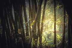 Bamboo tropical rainforest background with enlightenment sunlight through lush foliage vintage style. Bamboo tropical rainforest background with enlightenment stock photo