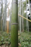 Bamboo trunk. Taken in Arashiyama bamboo forest in Kyoto Japan Stock Photos