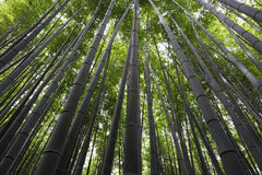 Bamboo trunk. Taken in Arashiyama bamboo forest in Kyoto Japan Royalty Free Stock Image