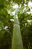 Bamboo trunk Stock Images