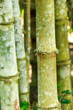 Bamboo trunk in garden Royalty Free Stock Photography