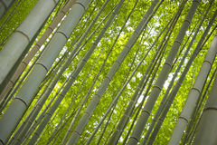 Bamboo trunks Stock Images