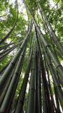 A bamboo trunks grow up. A bamboo trunks grew reach high to the sky created purity atmosphere Royalty Free Stock Photo
