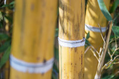 Bamboo trust in a bamboo forest. Closeup of bamboo trust in a bamboo forest Royalty Free Stock Photography