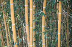 Bamboo trust in a bamboo forest Royalty Free Stock Images