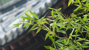 Bamboo. Twigs of bamboo with the roof of a Chinese temple, which is out of focus, as a backdrop Stock Photo