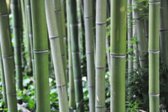 The bamboo. Two beautiful bamboo in the foreground of a beautiful green color from one thought to japan Royalty Free Stock Image