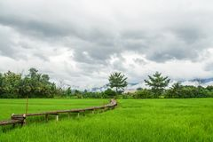 Bamboo walkway in the rice green field in cloudy day. Bamboo walkway in the rice green field in cloudy and stormy day Stock Photos