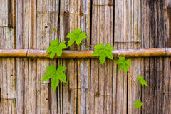 Bamboo wall with green fresh leave stock photography