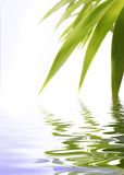 Bamboo in water. Bamboo leaves isolated over white flood Royalty Free Stock Image