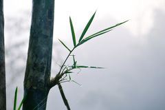 Bamboo and water drops  among mist Stock Images
