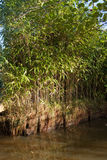 Bamboo by the water Royalty Free Stock Photo